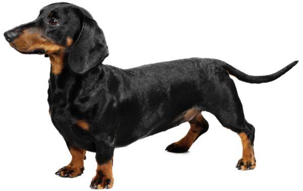 giống chó cảnh hiền lành sạch sẽ nên nuôi trong nhà có em bé loài chó lạp xưởng chó xúc xích
