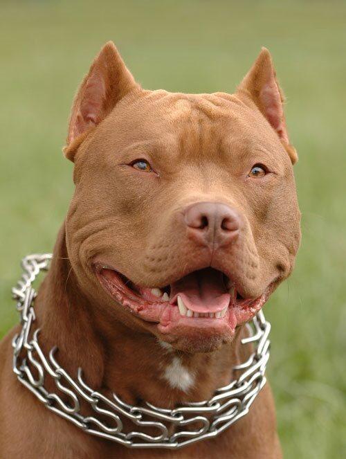 chó pitbull giống chó nguy hiểm nhất đối với con người
