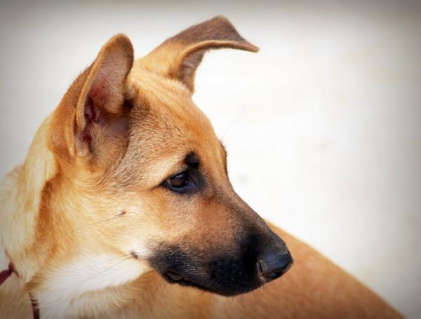 giống chó cảnh hiền lành sạch sẽ nên nuôi trong nhà có em bé loài chó ta chó cỏ
