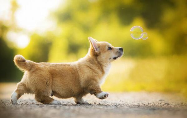 giống chó cảnh hiền lành sạch sẽ nên nuôi trong nhà có em bé loài chó corgi