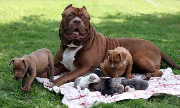 giá chó pitbull con mua tại việt nam rẻ