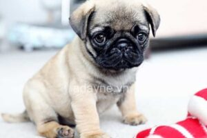 Gợi ý 8 giống chó nhỏ nuôi trong nhà siêu dễ thương