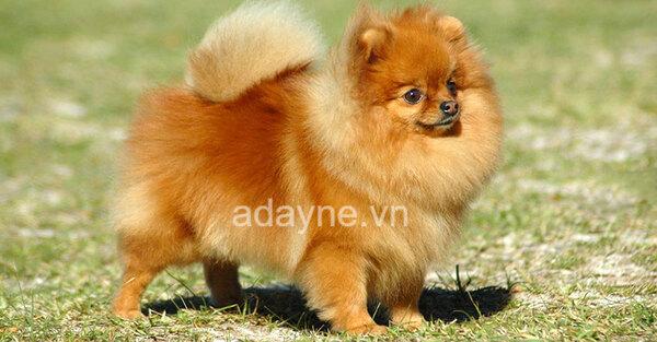 Chó Phốc sóc: giống chó nhỏ nuôi trong nhà phổ biến ở thành thị