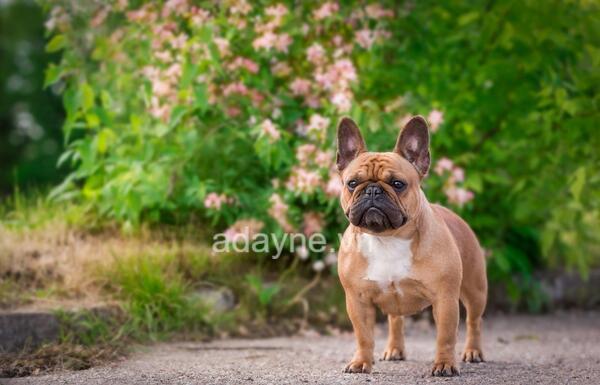 bull pháp: Loài chó này sống khá tình cảm và thích sự yêu chiều