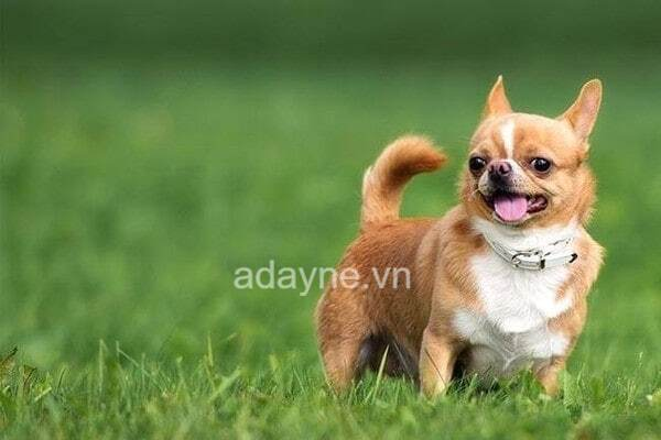 chó chihuahua là loài chó nuôi trong nhà phổ biến tại Việt Nam