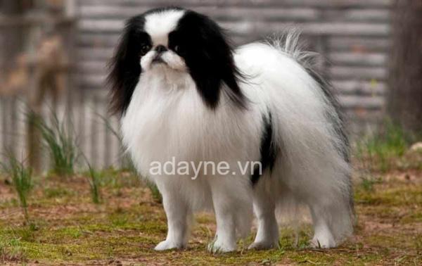 Chó Nhật (Japanese Chin), chó Bắc Kinh