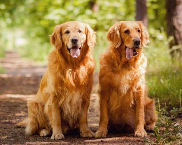 Lịch tiêm phòng cho chó lớn