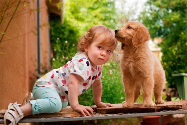 giống chó cảnh hiền lành sạch sẽ nên nuôi trong nhà có em bé loài chó Golden retriever