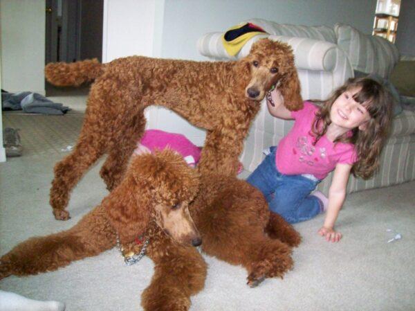 giống chó cảnh hiền lành sạch sẽ nên nuôi trong nhà có em bé loài chó poodle