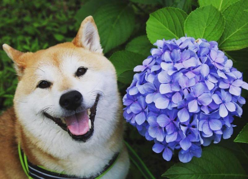 giống chó cảnh hiền lành sạch sẽ nên nuôi trong nhà có em bé loài chó shiba Nhật Bản