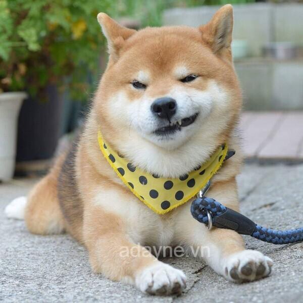 Chó Shiba - Thánh biểu cảm của năm