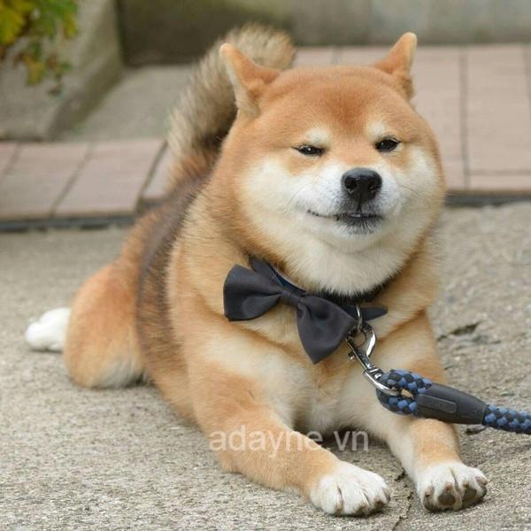 Chó Shiba có nguồn gốc từ Nhật Bản