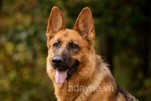 Cách nuôi chó becgie lai và các bệnh thường gặp ở chó becgie bạn nên biết