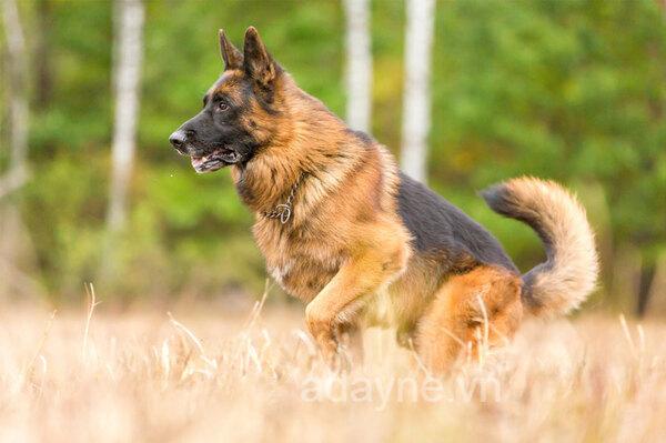 Huấn luyện sức bền cho chó becgie lai
