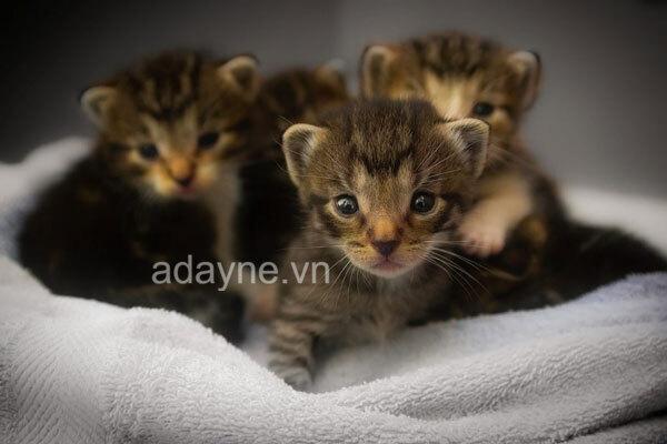 Nếu nuôi mèo con mất mẹ đến được 2 tháng tuổi, bạn đã nuôi mèo con đúng cách