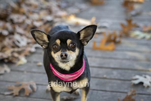 Chihuahua là giống chó nhỏ nhất trên thế giới