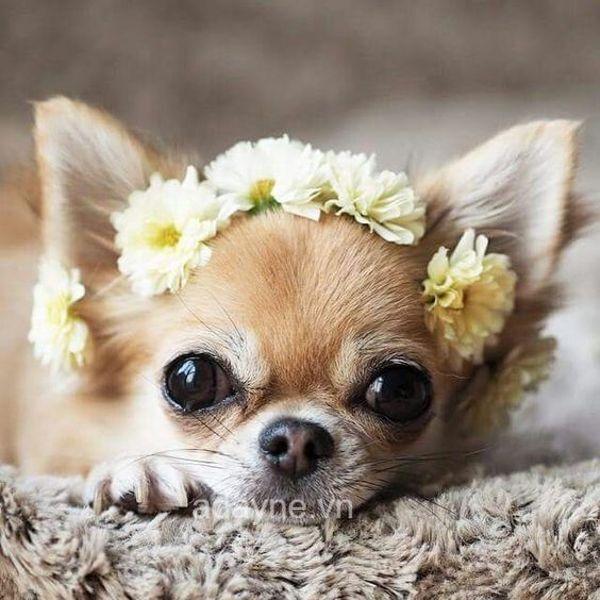 Chó Chihuahua mini sở hữu đôi mắt to tròn siêu đẹp