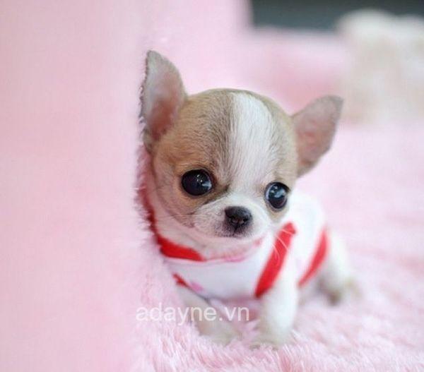 Đây là giống chó trung thành và có thính giác cực nhạy bén