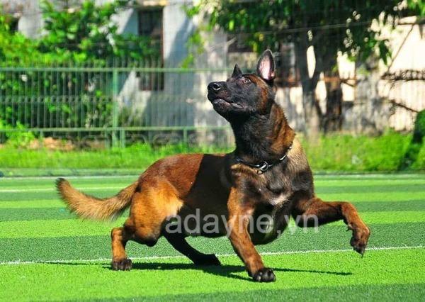 Tiêu chuẩn kích thước chó Béc Bỉ