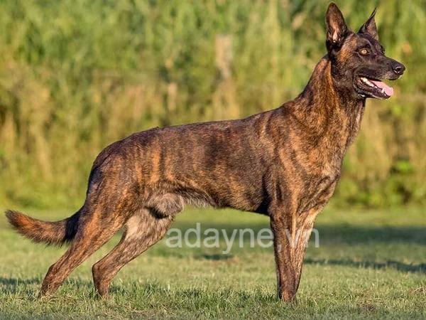 Chó Becgie bỉ sẽ chỉ có hai màu lông chủ đạo là đen và vàng.