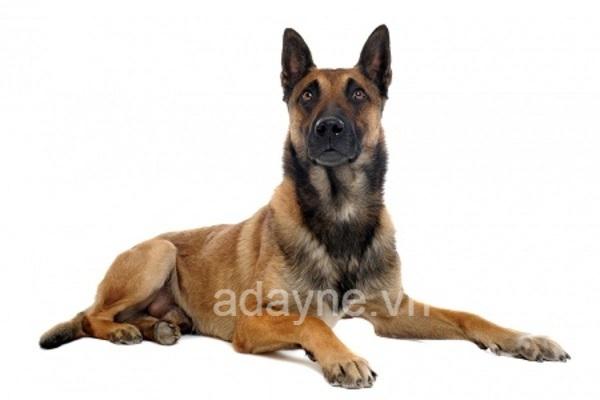 Giá chó Béc Bỉ thuần chủng