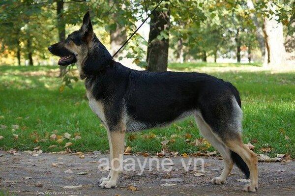 Tìm mua chó Becgie Bỉ giá rẻ