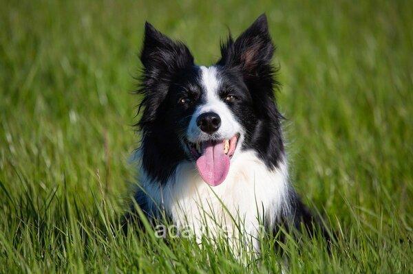Chó Border Collie có thân hình cân đối
