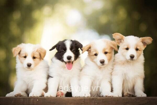 Chó Border Collie sẽ trở nên tăng động nếu bị nhốt quá lâu