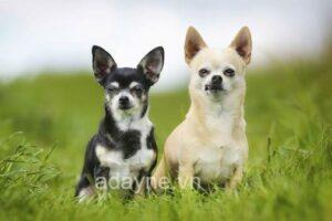 """Nguồn gốc giống chó Chihuahua và giá chó mà các """"sen"""" cần phải biết"""