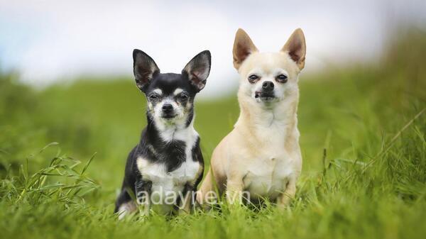 Giá thành của những bé Chihuahua mini còn phụ thuộc vào nhiều yếu tố