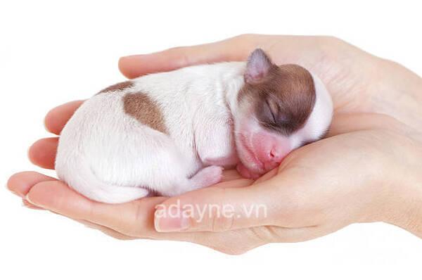 Cần lưu ý những dấu hiệu bất thường của chó Chihuahua mẹ giai đoạn mang thai