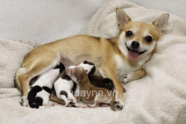 Chăm sóc chó Chihuahua sau đẻ thường