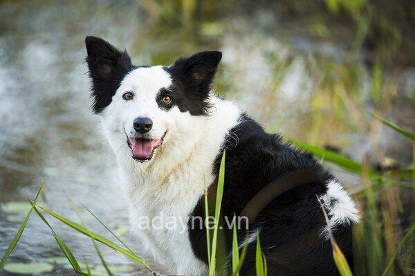 Border Collie là giống chó được xếp hạng 1 trên thế giới về độ thông minh