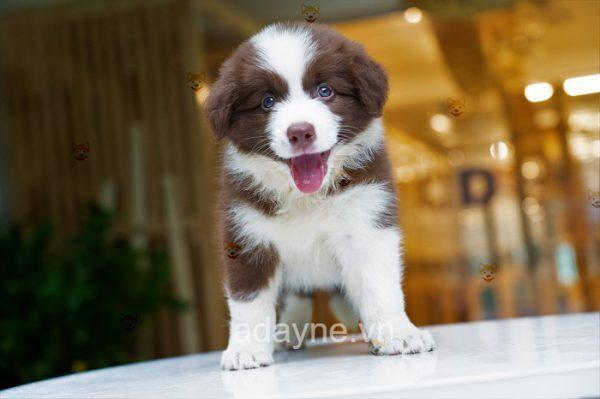 Bạn đang có ý định tìm mua chó Collie giá rẻ?