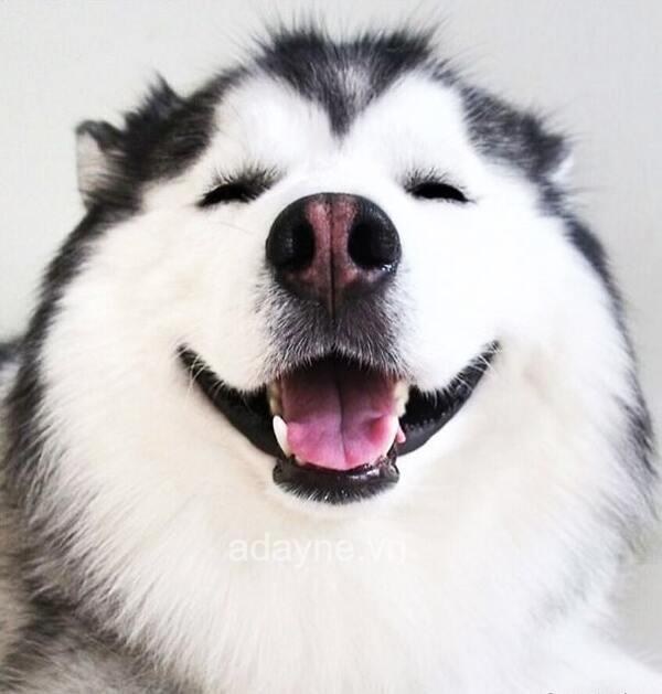 chó Husky có thể sống tốt trong điều kiện thời tiết xuống thấp từ -50 đến -60 độ C.