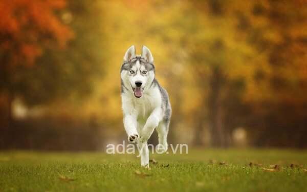 """Chó Husky - phiên bản chó sói """"bị lỗi"""""""