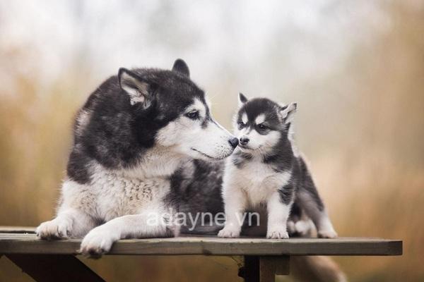 Chó Husky rất ham chơi