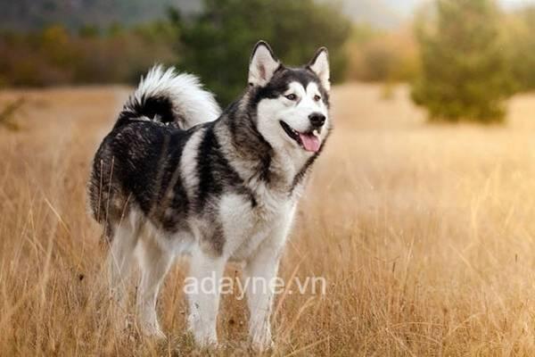 Các bé husky ngáo có tính cách tăng động