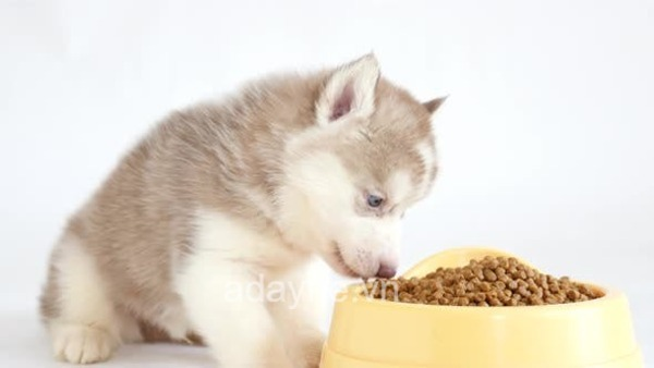 Huấn luyện chó husky cần nhiều thời gian