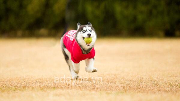 Chó husky ngáo có tập tính thích chạy nhảy, ưa vận động