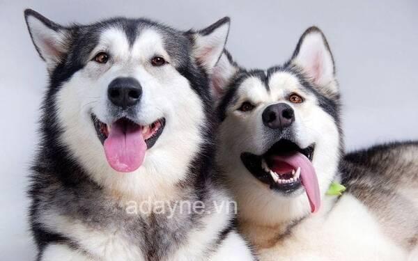 Chó husky ngáo đặc biệt yêu thích thịt động vật