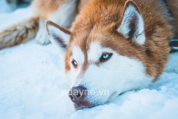 Gương mặt ngáo ngơ của Husky