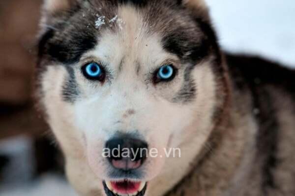 Chó Husky chịu lạnh cực tốt