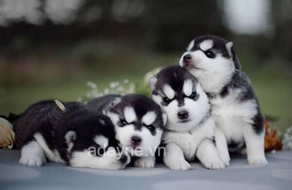 Chó husky ngáocon từ 3-6 tháng tuổi cần nhiều dưỡng chất để phát triển cơ bắp