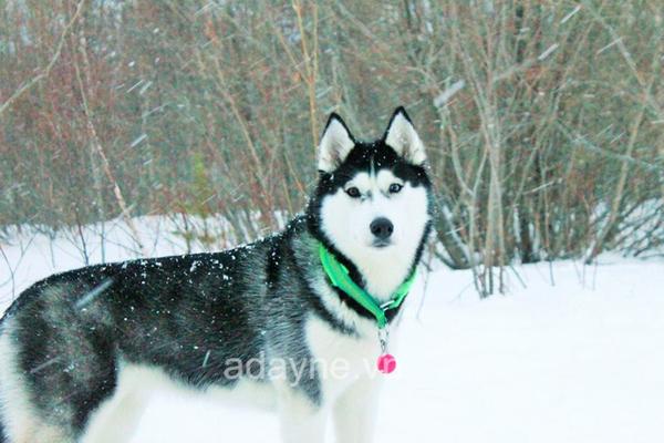 Husky chó ngáo là giống chó kéo xe được lai tạo từ chó sói