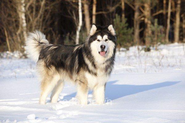 Cơ thể chó ngáo có kích thước trung bình