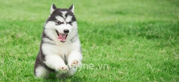 Chó Husky có thể khiến bạn không khỏi bất ngờ vì độ đáng yêu