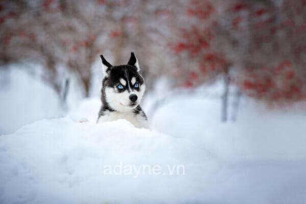 Đôi mắt sắc bén của chó ngáo Husky