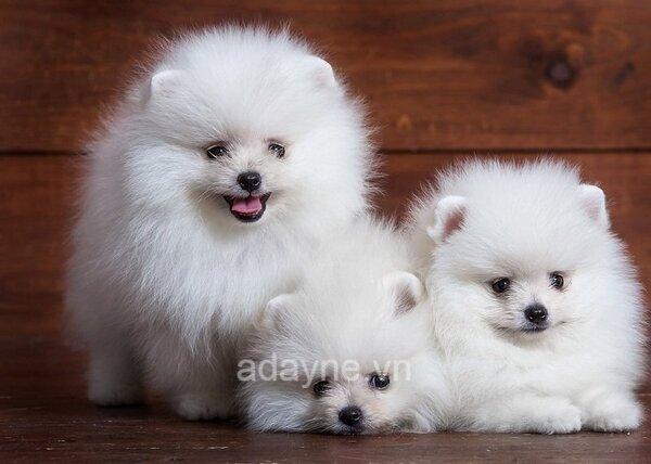 chó Phóc sóc dưới 1 triệu có khả năng rất cao là những chú chó bệnh.