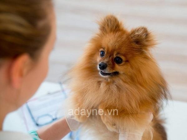 Chăm sóc chó Phốc sau khi đẻ